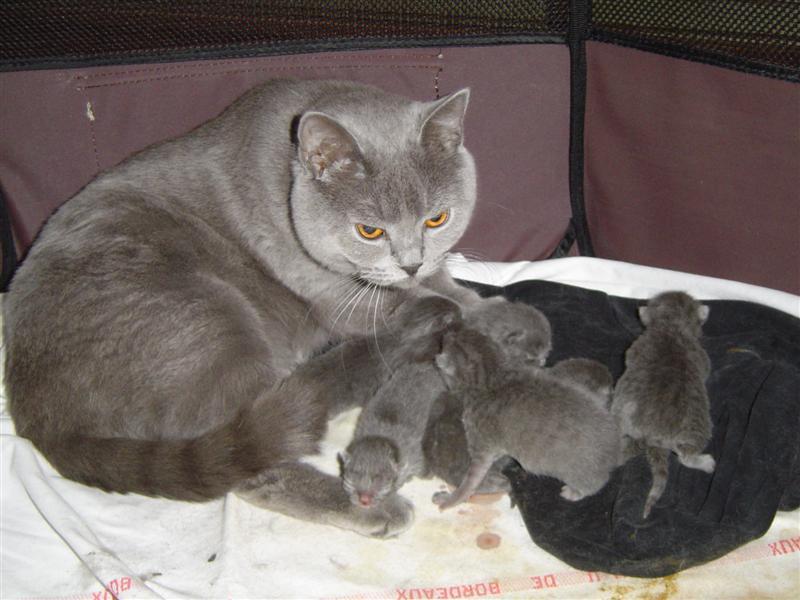 """Résultat de recherche d'images pour """"chat de race chartreux"""""""